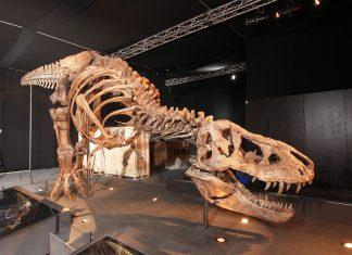 In enger Zusammenarbeit mit dem Naturalis Bioversity Center in Leiden (NL) ist es gelungen, eines der bislang besterhaltenen Skelette eines Tyrannosaurus rex, das je geborgen wurde, ins Salzburger Land zu holen. (Bildquelle: www.kaindl-hoenig.com)