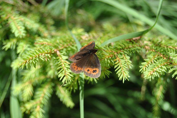 Schmetterlingszählung von 13. – 31. Juli 2017 (Bildquelle: Michaela Resch)