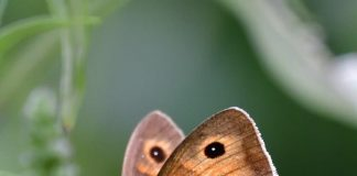 """Meist gesichtete Art in Österreichs Gärten bei """"Zeig her deinen Schmetterlingsgarten"""": Großes Ochsenauge, von Ernst M. (Bildquelle: Blühendes Österreich – REWE International gem. Privatstiftung)"""