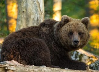 """Neuer Vortrag: Partnerland Slowenien präsentiert """"Unter Bären"""" mit dem bekannten Naturfotografen Marc Graf (Bildquelle: Marc Graf)"""