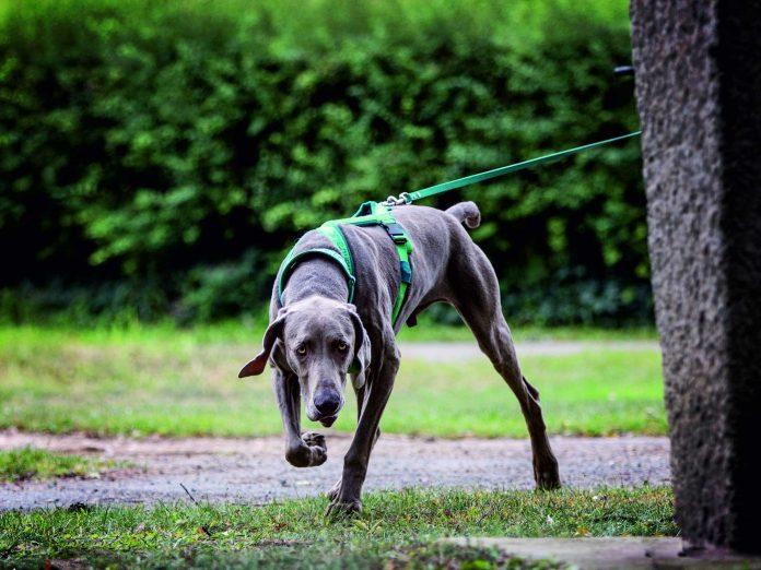 Weimaraner Holmes am Trail (Bildquelle: Wild Pixel)