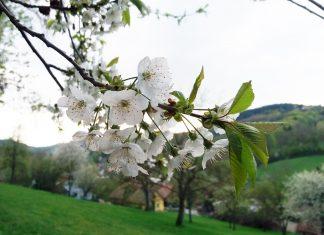 Die Birnbaumblüte an der Moststraße (Bildquelle: Michaela Resch)