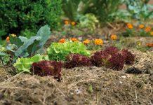 Eine Mulchschicht bedeckt offenen Boden und schützt vor Austrocknung, Windverwehung und Auswaschung (Bildquelle: Natur im Garten)
