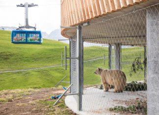 Bär Napa in seinem Eingewöhnungsgehege nach der Überführung durch VIER PFOTEN ins neue Arosa Bärenland (Bildquelle: VIER PFOTEN / Stefan Bohrer)