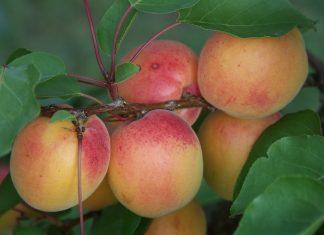 Die Marille stammt ursprünglich aus China, wo sie bereits seit Jahrtausenden kultiviert und als Nahrungsmittel geschätzt wird (Bildquelle: Natur im Garten)