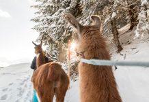 Lama-Trekking im Montafon vereint Entschleunigung, Genuss und Geschichte (Bildquelle: Montafon Tourismus / Andreas Haller)