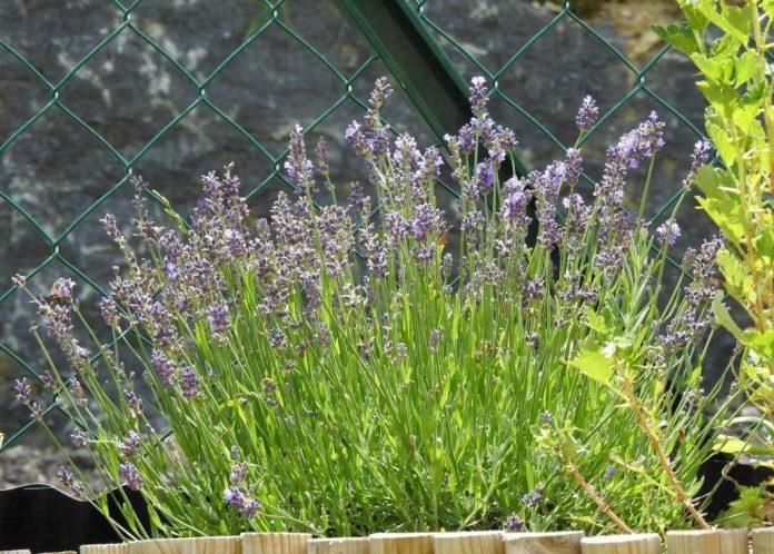 Lavendel hält Gelsen zu einen gewissen Grad fern