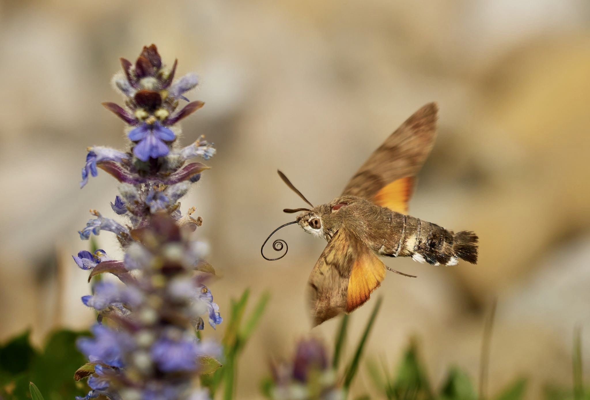 Sensationelle-Ergebnisse-der-Schmetterlingsz-hlung-in-sterreich